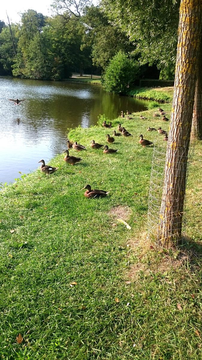 Joggen im Park Sanssouci am frühen Morgen | Enten auf dem Weg zu Schloss Charlottenhof