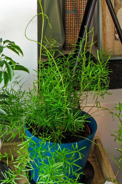 [unbeauftragte werbung]Pflanzen | Der Interior-Trend | Asparagus