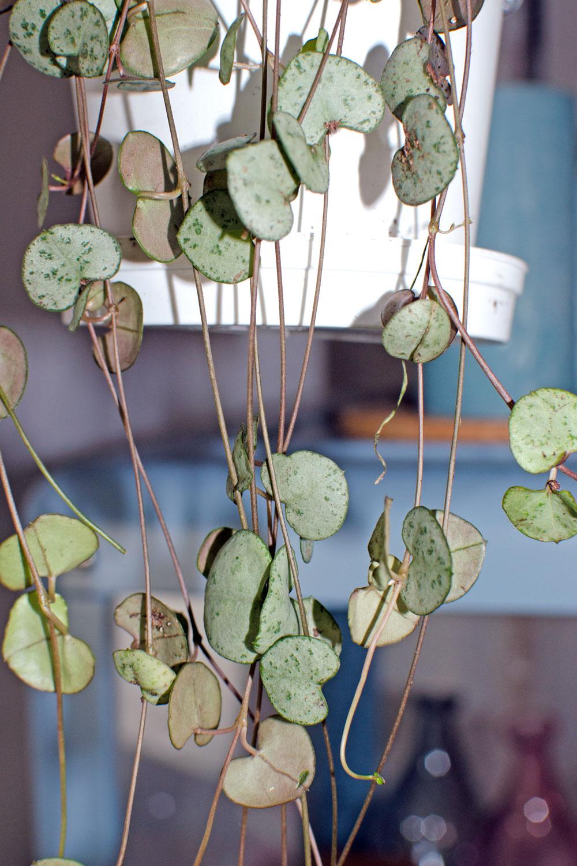 [unbeauftragte werbung]Pflanzen | Der Interior-Trend | Leuchterblume
