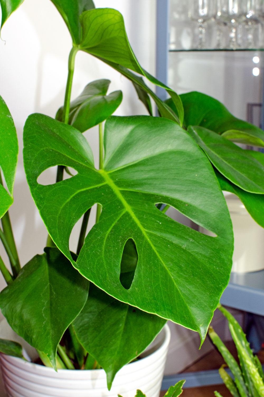 Was ist Evergreen Content? [unbeauftragte werbung]Pflanzen | Der Interior-Trend | Monstera