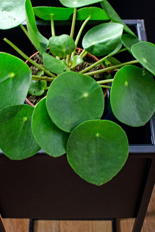 [unbeauftragte werbung]Pflanzen | Der Interior-Trend | Pilea