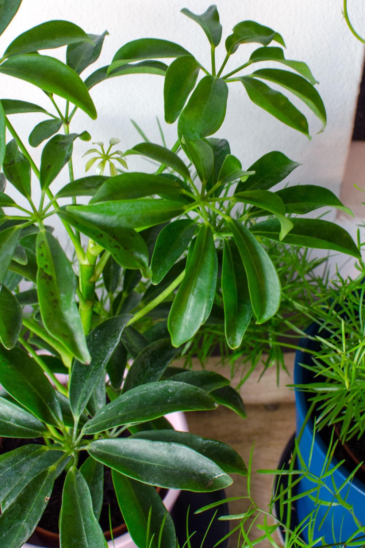[unbeauftragte werbung]Pflanzen | Der Interior-Trend | Schefflera