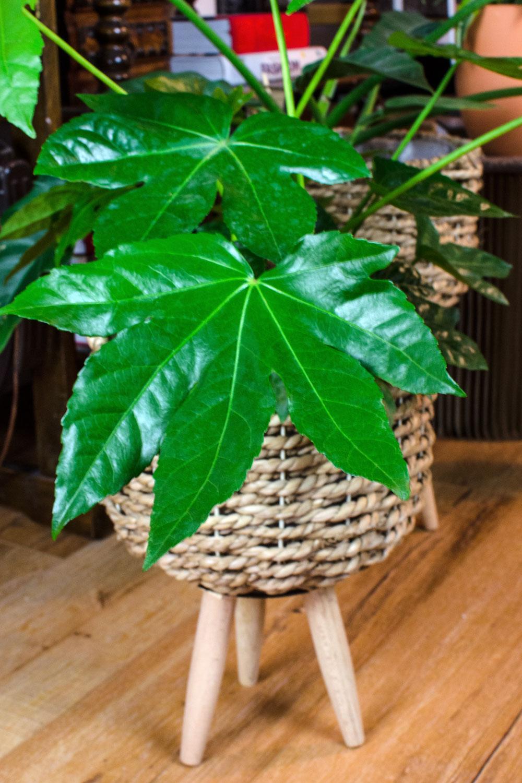 [unbeauftragte werbung]Pflanzen | Der Interior-Trend | Zimmeraralie