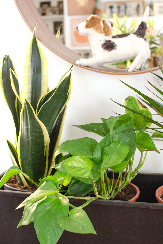 Grüne Freunde | Sansevieria & Efeutute [unbeauftragte werbung]