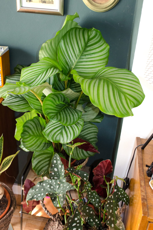 Grüne Freunde | Calathea oribifolia: Pflanzenpflege im Winter [unbeauftragte werbung]