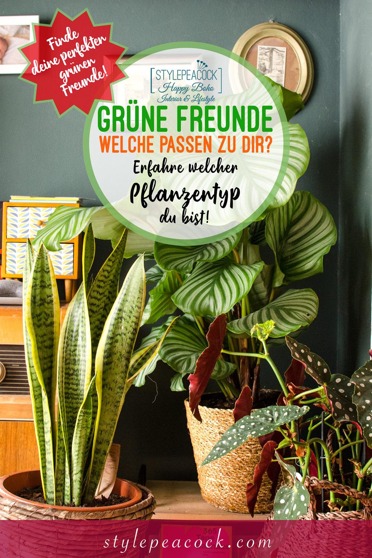Grüne Freunde | Calathea oribifolia [unbeauftragte werbung]