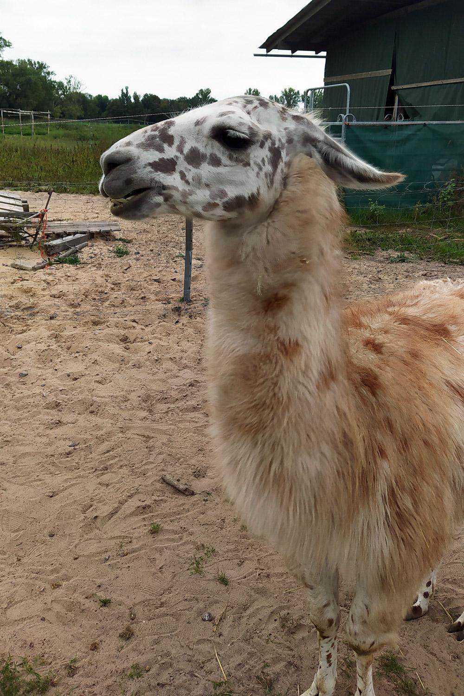 Igor, das Lama